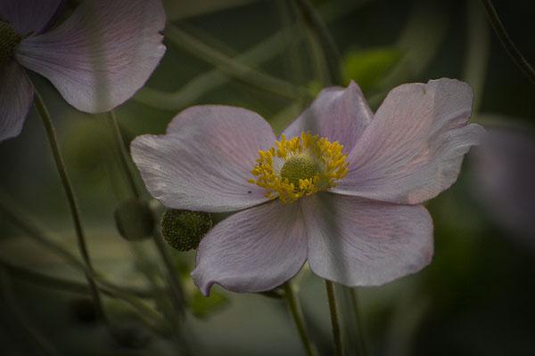 Schönheit im Verblühen - © Helga Jaramillo Arenas - Fotografie und Poesie / August 2016