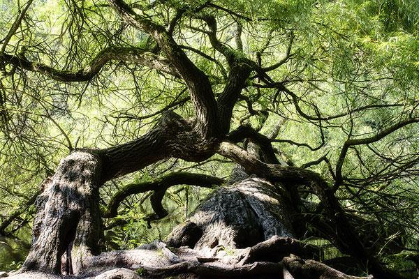 Wenn Bäume tanzen -  © Helga Jaramillo Arenas - Fotografie und Poesie / Juni 2021