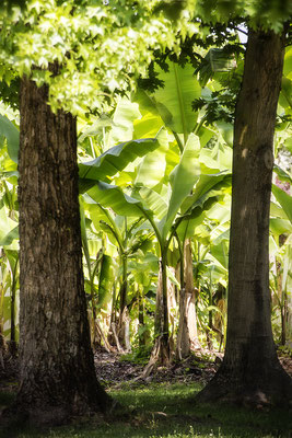 Alles Banane (2) - © Helga Jaramillo Arenas - Fotografie und Poesie / Juli 2018
