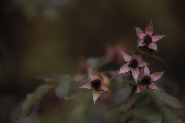 Wintersterne (2) - © Helga Jaramillo Arenas - Fotografie und Poesie / November 2017