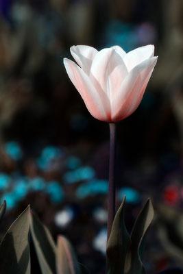 Das Versprechen der Tulpe - © Helga Jaramillo Arenas - Fotografie und Poesie / Mai 2015