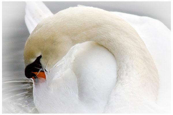 Die Leichtigkeit der Schwäne - © Helga Jaramillo Arenas - Fotografie und Poesie / Januar 2014