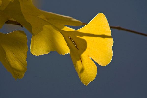 Blattgold (1) - © Helga Jaramillo Arenas - Fotografie und Poesie / Oktober 2010