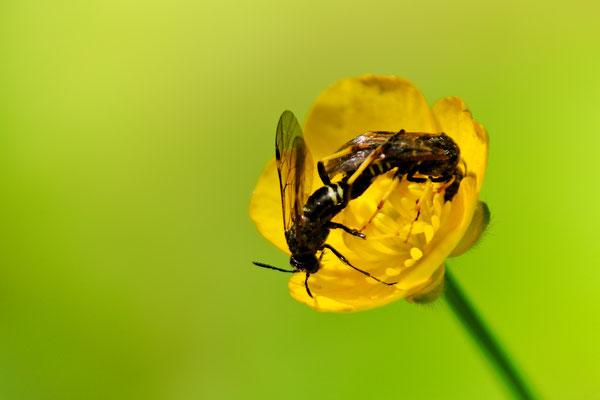 Parende Wespen