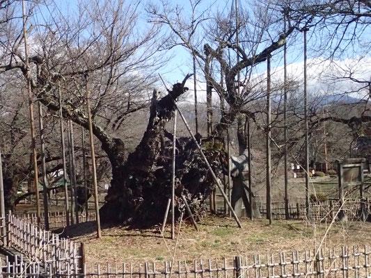3月7日 春を感じさせる日々が続いて桜木も喜んでいます