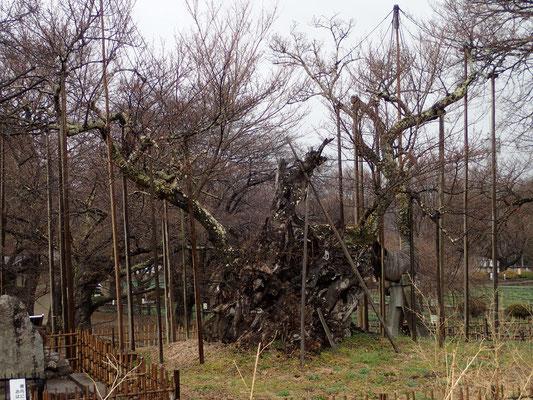 3月21日 久しぶりの雨に桜木は嬉しく、冷たい雨に人々は「サブッ」