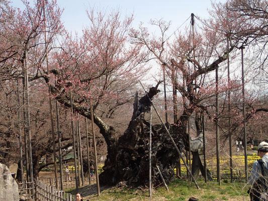 4月5日 十数輪の花びらが開いています