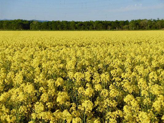 菜の花畑の黄色い絨毯 Masato Sato Illustpageー佐藤正人の