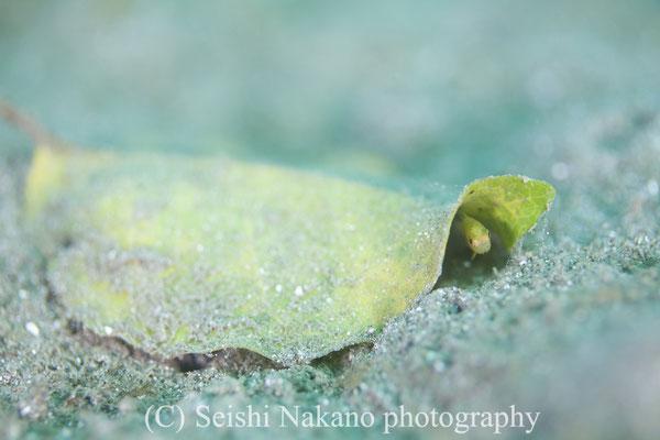 クロイシモチ幼魚