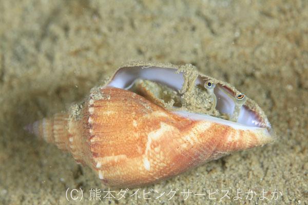 シドロガイの幼貝
