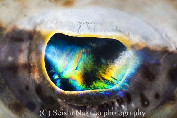 イネゴチの目のアップ