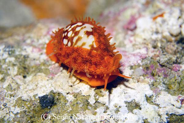 カノコダカラ幼貝
