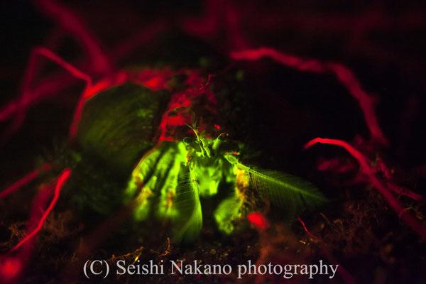 蛍光発光するヤドカリ