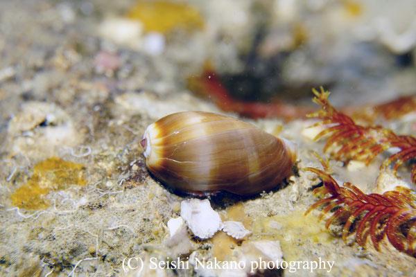 カモンダカラ幼貝