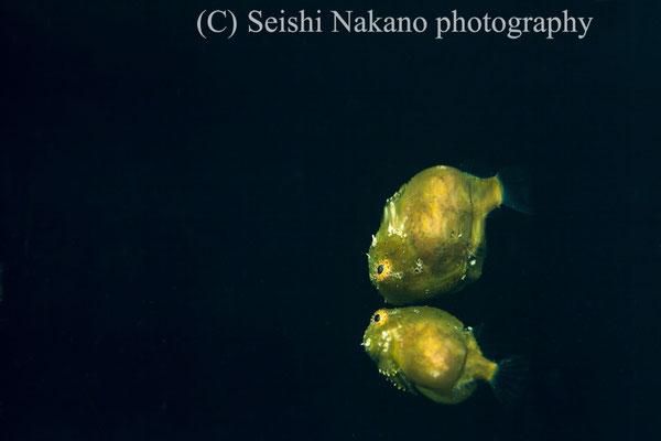 遊泳するダンゴウオの親