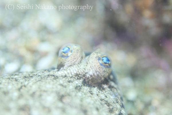 メイタガレイの幼魚