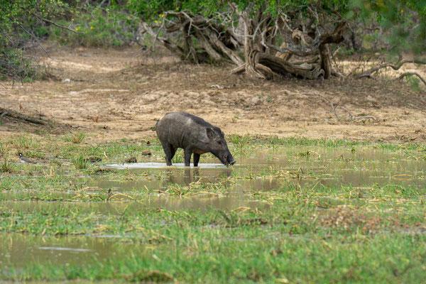 Wildschwein | 328mm | F6,3 | 1/500s | ISO 200