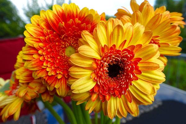 Gerbera Blumen Pi mal Butter Mädchenvöllerei