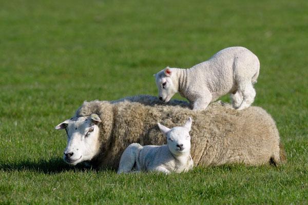 Ooi met speels lam op de rug.