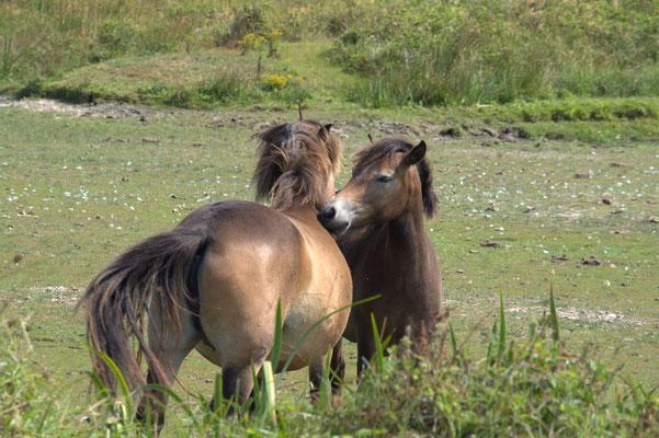 Exmoor Pony's begroeten elkaar.