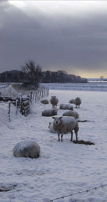 Schapen in de winter.