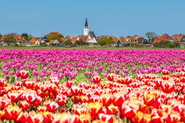 Bloembollenveld bij het dorp Den Hoorn met op de achtergrond het dorp Den Hoorn.