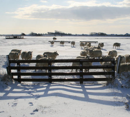 Schapen in de winter bij hek.
