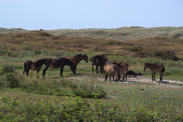 """Exmoor Pony's in de """"Bollekamer"""" bij Den Hoorn."""