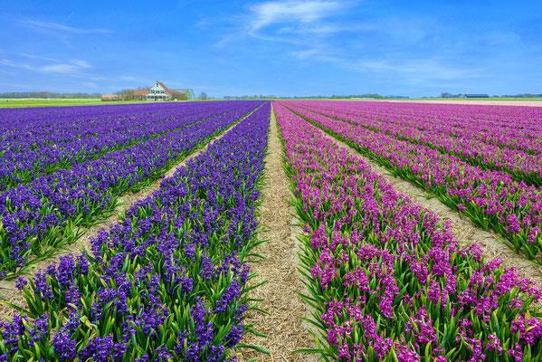 Narcissenvelden bij het dorp Den Hoorn.