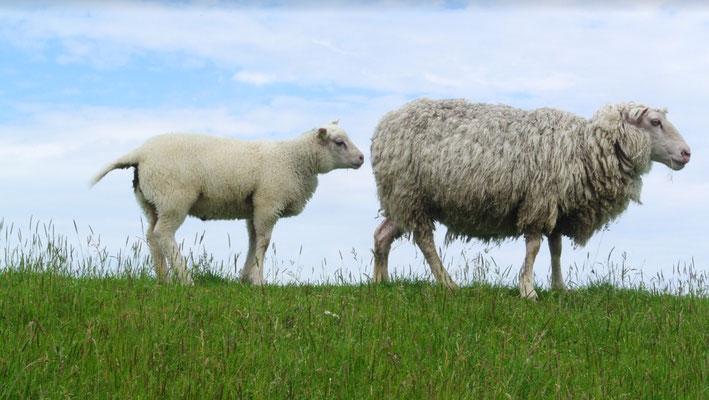 Een lam met ooi (moederschaap)