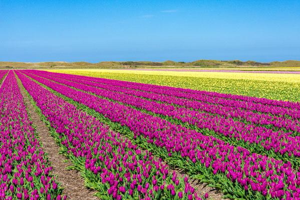 Bloembollenvelden achter de duinen bij het dorp Den Hoorn.