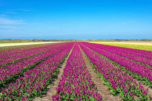 Bloembollenvelden bij het dorp Den Hoorn.