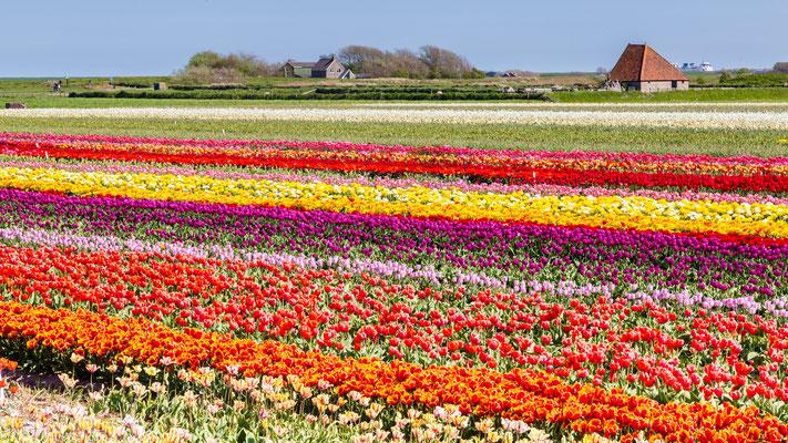 Bloembollenvelden bij het dorp Den Hoorn met op de achtergrond een schapenboet en de veerboot van de TESO.