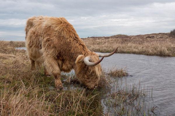 """Schotse Hooglander drinkt water uit de """"Moksloot"""" bij de """"Mokbaai""""."""