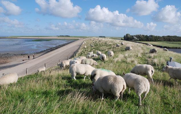 Schapen op de waddendijk met links de waddenzee bij De Cocksdorp.