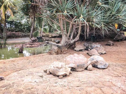 Riesenschildkröten auf Mauritius im La Vanille Nature Park