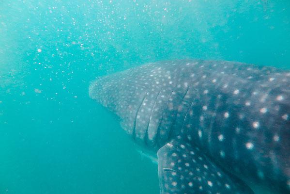 Schnorcheln mit Walhaien in Donsol auf den Philippinen