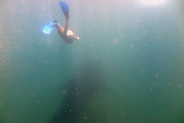 Schnorcheln mit Walhaien in Donsol