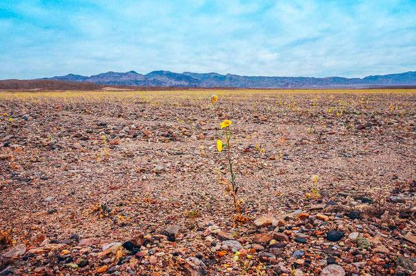 Super Bloom im Death Valley 2016
