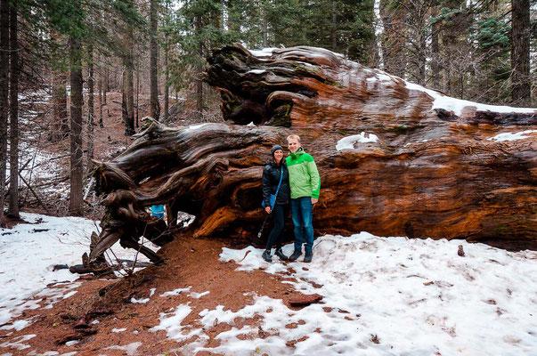 Sequoia Bäume bei Toulumne Grove Trail