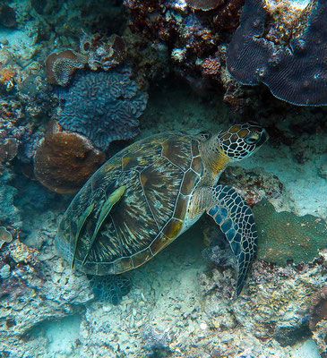 Schildkröte in Moalboal