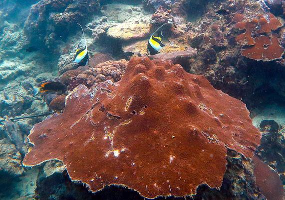 Korallen beim Tauchen mit Sardinen