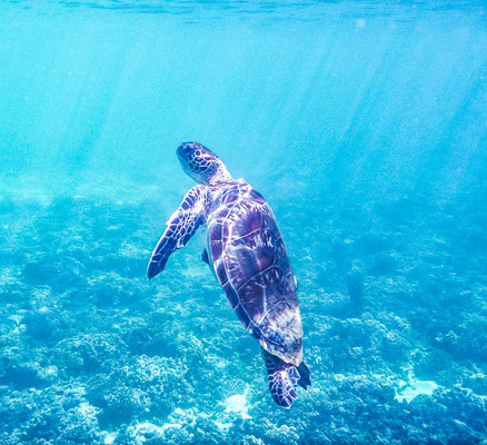 Schildkröte bei Daymaniyat Islands
