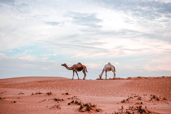 Kamele in Wahiba Sands