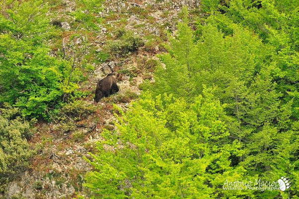 Un orso Marsicano sorpreso al margine di un bosco.