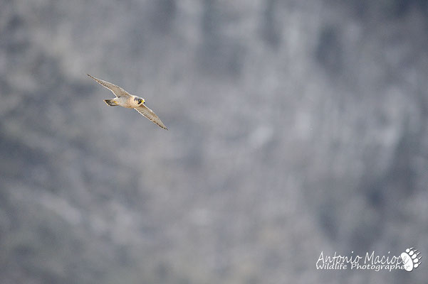 Anche il falco pellegrino, spesso sorvolava la vallata in cerca di prede.
