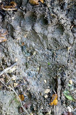 Impronta posteriore di orso.