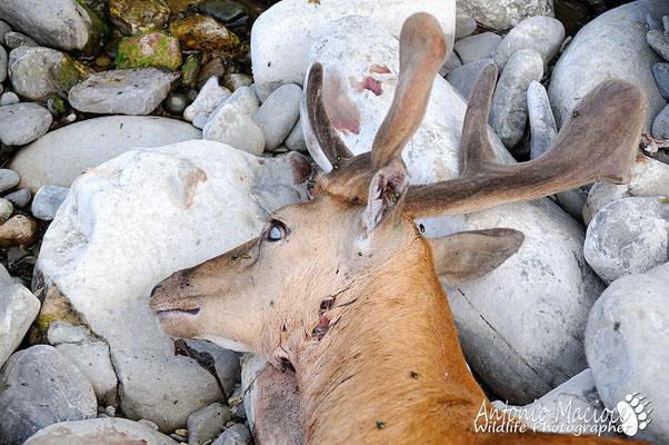 Daino predato da lupi, si puo notare il classico segno del morso retromandibolare.
