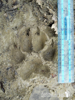 Impronta di lupo.