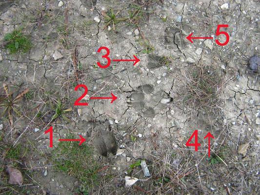 1) Daino 2) Lupo 3) Capriolo 4) Volpe 5) Tasso